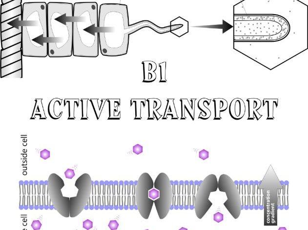 Active Transport workbook Biology GCSE (AQA & EdExcel B1)