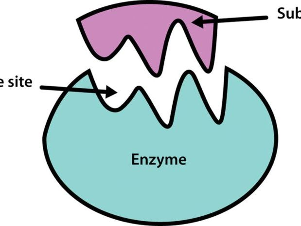 OCR A Level Year 1 Chapter 4 Enzymes