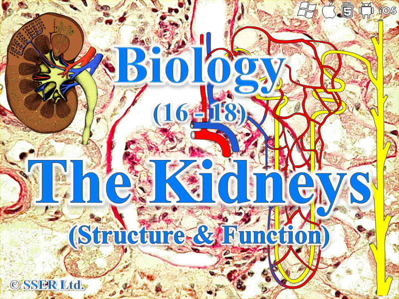 3.6.4.3 Excretion - Kidney Function (Excretion and Osmoregulation)