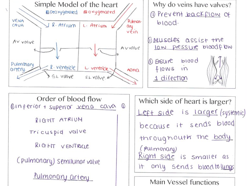 New Alevel physical education revision - Anatomy and Physiology ...