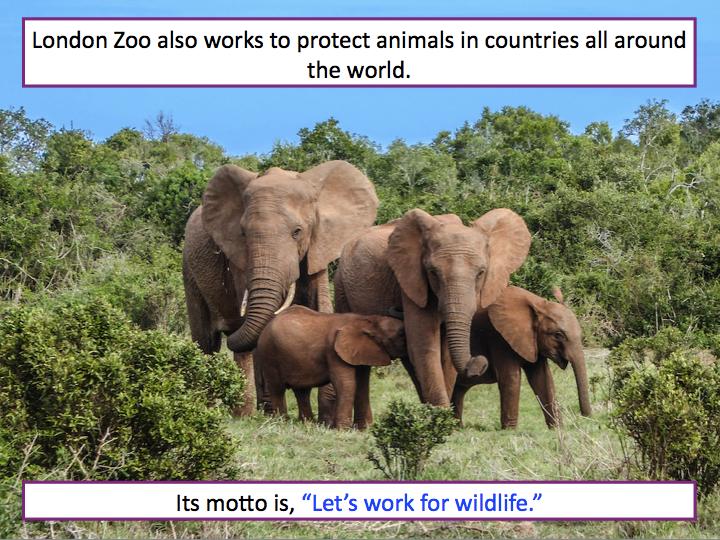 Writing a fact file about London Zoo - KS1/KS2