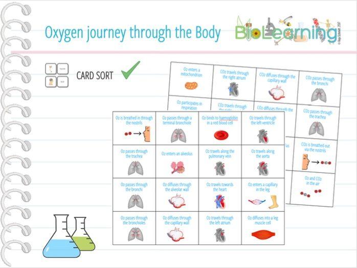 Journey of Oxygen around the body - Card sort (KS3/KS4)