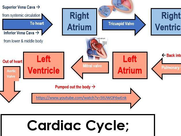 The Heart Cardiac Cycle Systole And Diastole Heart Stroke