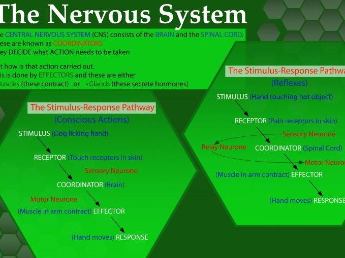 Nervous System: Stimulus Response Pathway comparing Conscious vs Unconscious Reflex Action