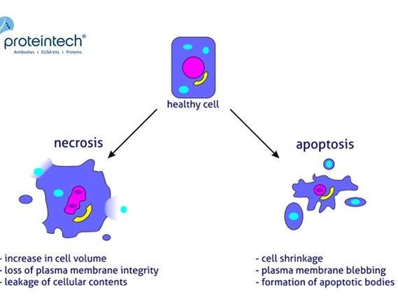 Apoptosis with answers