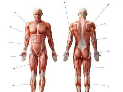 AQA New GCSE PE 9-1. Muscles of the Body diagram and separate sheet containing names.