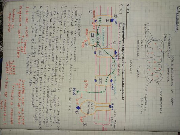 OCR A Level Biology A Revision Notes (Handwritten)