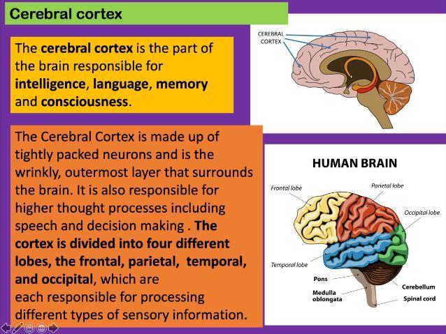 Anatomy and Physiology: The Brain