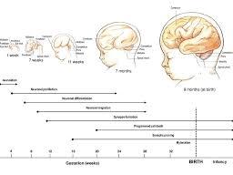 Edexcel GCSE Psychology - Development- Pack 1 - Brain Development
