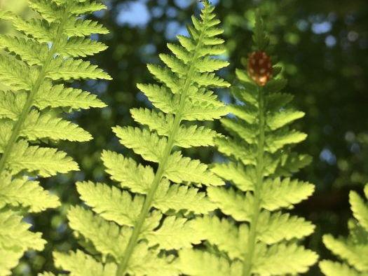 Bracken and Ferns
