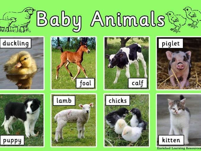 FARM ANIMALS - BABY ANIMALS - A4 POSTER WITH TEXT
