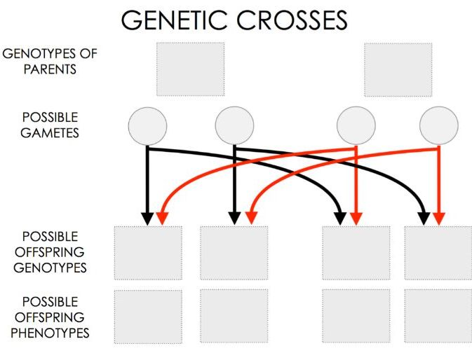 Genetic Crosses Template - GCSE
