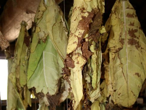 Tobacco and Smoking: Tobacco Leaves Drying Photo