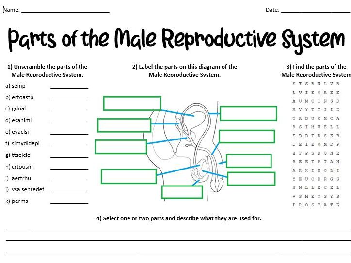 Parts of the Male Reproductive System