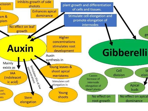 Mind map on the differences between Auxin and gibberellin