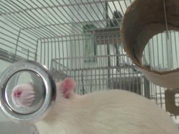Lab rats close-up