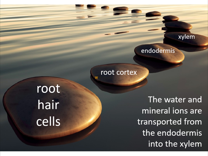 Transport of water into the plant (OCR A-level Biology)