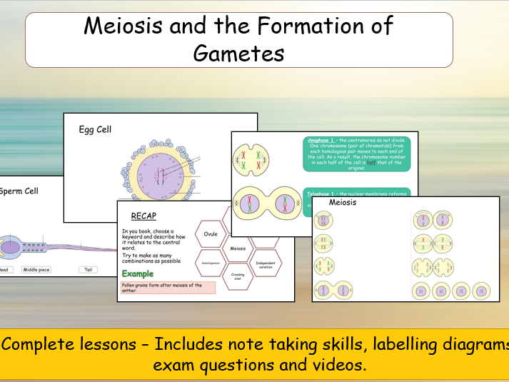 Meiosis and the formation of gametes