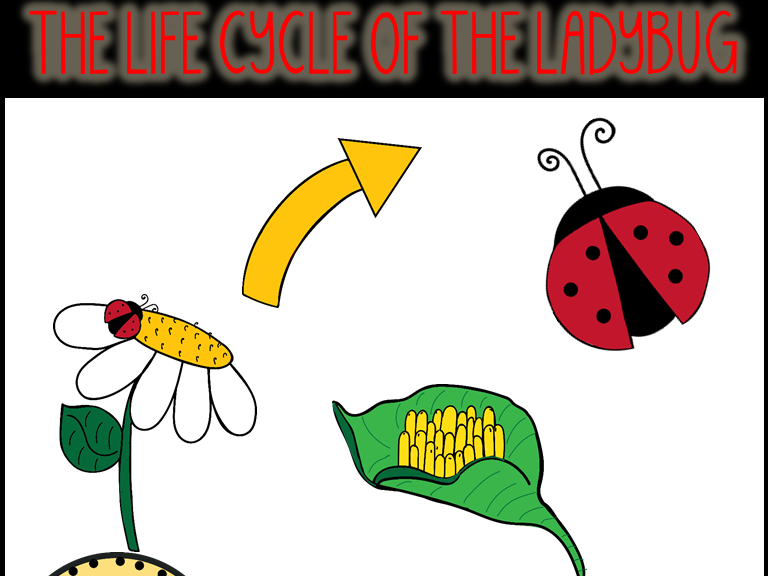 The Life Cycle of A Ladybug Clip Art