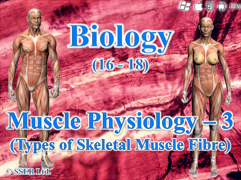 3.6.3 Muscle Physiology 3 - Types of Muscle Fibres