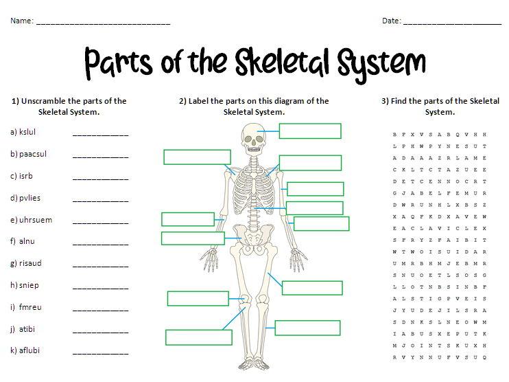 Parts of the Skeletal System Worksheet
