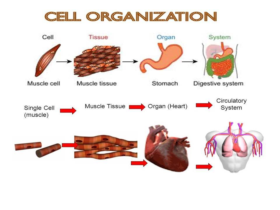 Cells  and Organization Bundle