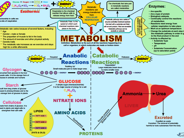 Activity for a Lesson on Metabolism (AQA 4.4.2.3)