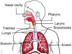 GCSE PE - Respiratory System